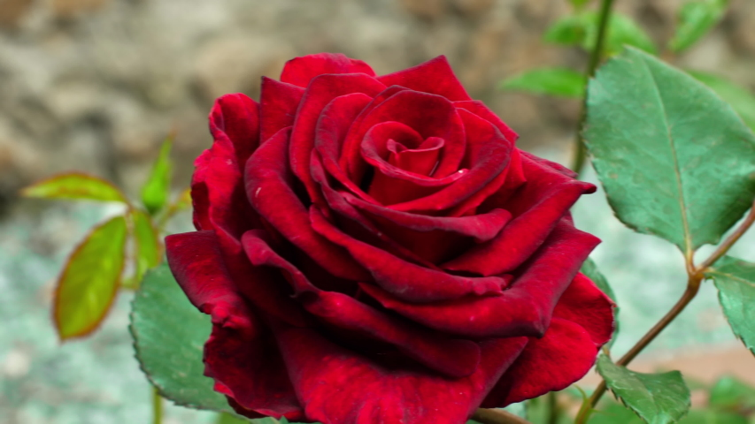 Beautiful red rose blooms in the garden. The season of flowering roses. Red Rose | Shutterstock HD Video #1055423150