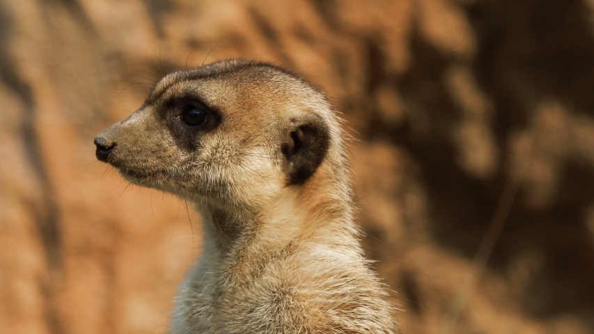Close-up portrait of meerkat standing and watching around for hunters. Meerkat are living in Africa. Wildlife and nature stock footage.