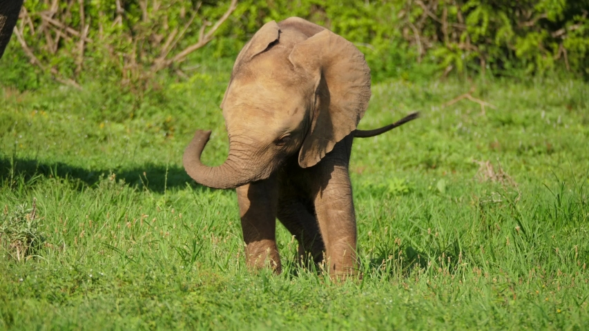 Playful baby African Elephant (calf) swinging her trunk around clumsily as her mother stands nearby in Addo National Park, South Africa.   Shutterstock HD Video #1055431262