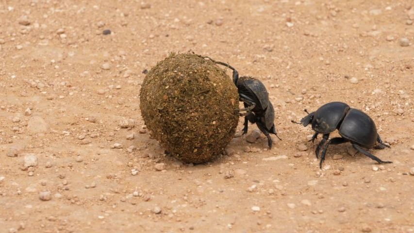 Close up of female Flightless dung beetle rolling large dung ball, male following, not helping, Addo Elephant National Park   Shutterstock HD Video #1055443292