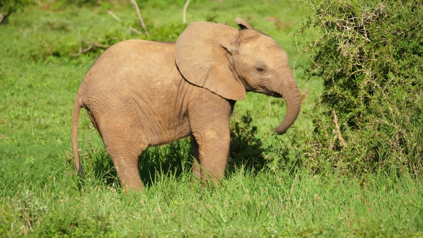Close up isolated baby African Elephant in Addo Elephant National Park, swings trunk and plays with grass   Shutterstock HD Video #1055443364