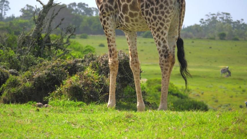 Tilt from feet to head of giraffe standing wagging tail overlooking land   Shutterstock HD Video #1055455310