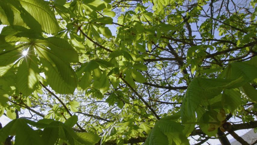 MS LA DS Sun shining through leafy branches of chestnut tree / Kirkhaugh, | Shutterstock HD Video #1055477648