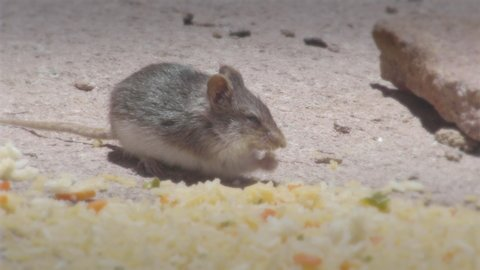 Wild mouse eating at Mallcu Garden and Caves - Bolivia.