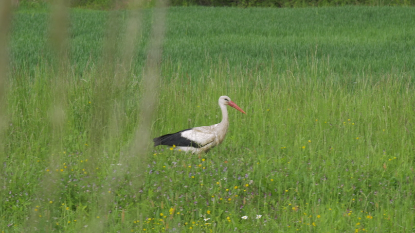 White stork on field in countryside walking and flying away. Stork flying away.