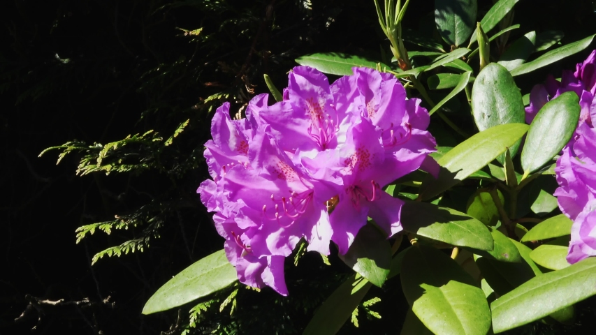 Flowering Rhododendrons in the garden in the Netherlands.  | Shutterstock HD Video #1055552162