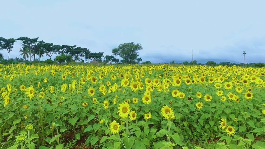 Sunflowers - Gundlupet or Gundlupete in Kannada is a town in the Chamarajanagar district of the Indian also called as Flower pot of Karnataka state of Karnataka. This small town is about 60 km from th | Shutterstock HD Video #1055552339