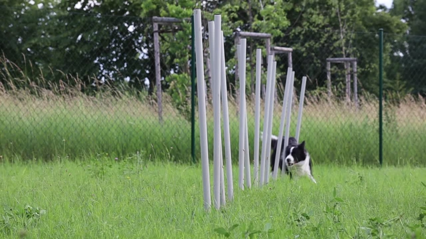 Slow Motion of Border Collie Training Agility in the Garden. Black and White Dog Weaving Through Poles in Czech Republic. | Shutterstock HD Video #1055552387