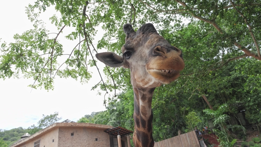 Giraffes chewing and eating greenery as they are looking directly at the camera in the zoo. | Shutterstock HD Video #1055555192