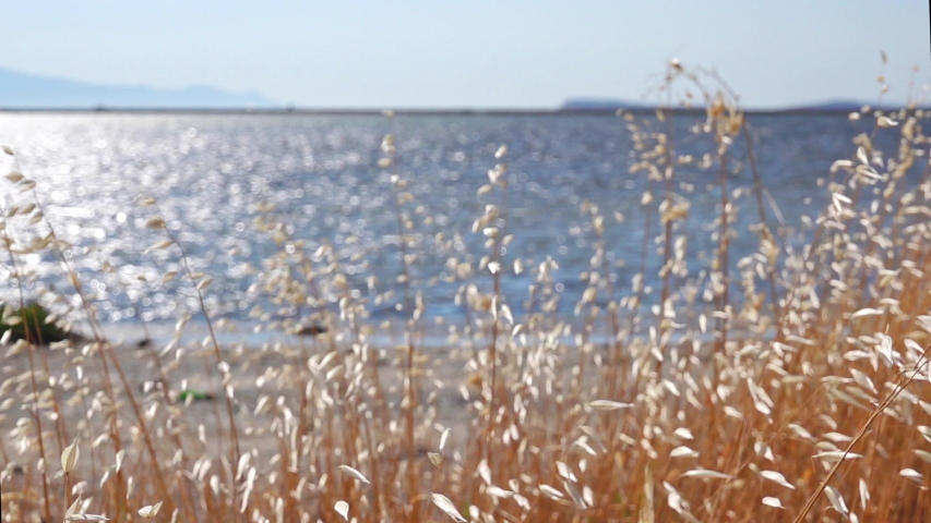 Bulrush Swaying By The Sea. This stock video shows a close-up of bulrush grass swaying in the wind by the ocean. | Shutterstock HD Video #1055555852