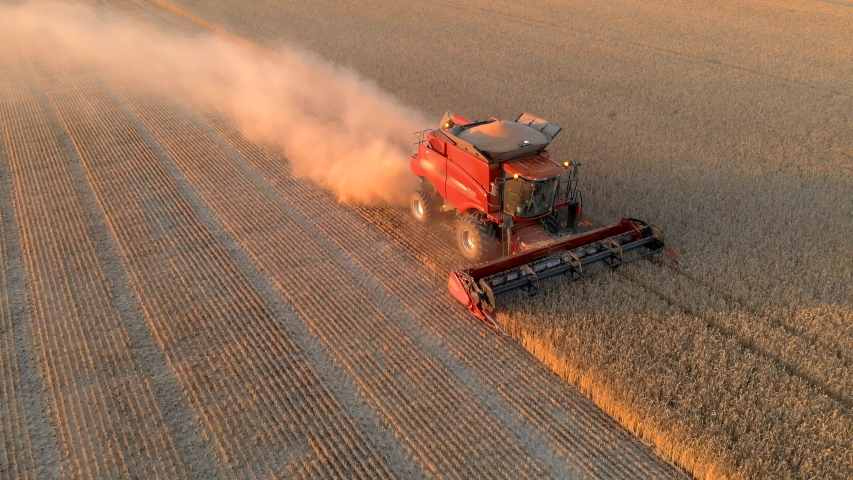 Aerial view red combine harvester collect wheat grains in field golden color. Yellow ears ripe cereal crop. Agricultural summer work in farm machine. Sunset   Shutterstock HD Video #1055556806