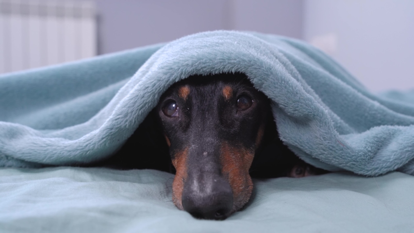 Dachshund is lying on bed, head sticking out from under covers, looking up. Dog crawls under blanket to hide from monster or owner who is going to do unpleasant procedure.