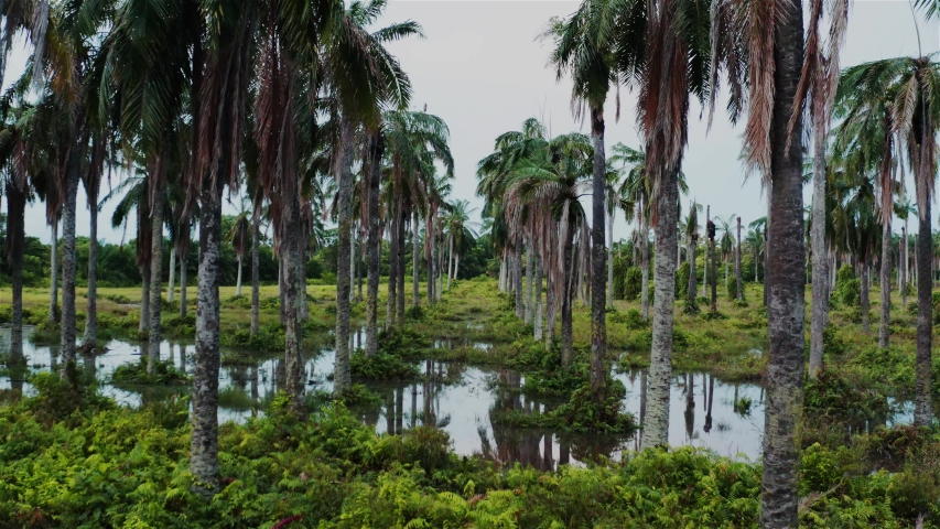 Flooded coconut plantation which became sanctuary for wildlife   Shutterstock HD Video #1055578571