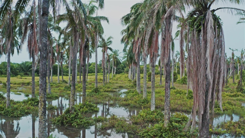 Flooded coconut plantation which became sanctuary for wildlife   Shutterstock HD Video #1055578574
