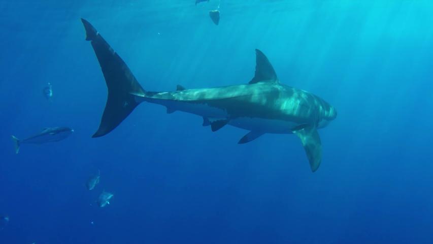 Underwater Great White Shark Swims Towards The Camera | Shutterstock HD Video #1055579093