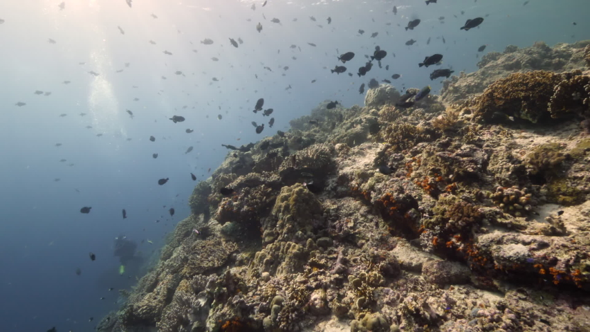 Slow motion shot Diver on background School of fish underwater landscape in Kepulauan Banda Indonesia. Swimming in world colorful beautiful wildlife of reefs and algae. Inhabitants in search of food. | Shutterstock HD Video #1055611655