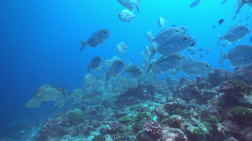 School of tuna tunny fish on the blue background of the sea under water underwater in search of food. Diving in world of colorful beautiful wildlife of corals reefs in Maldives. | Shutterstock HD Video #1055611673