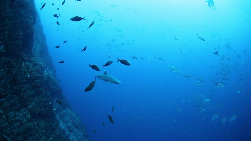 School of tuna tunny fish on the blue background of the sea under water underwater in search of food. Diving in world of colorful beautiful wildlife of corals reefs. Shots in Mexico Socoro. | Shutterstock HD Video #1055611694
