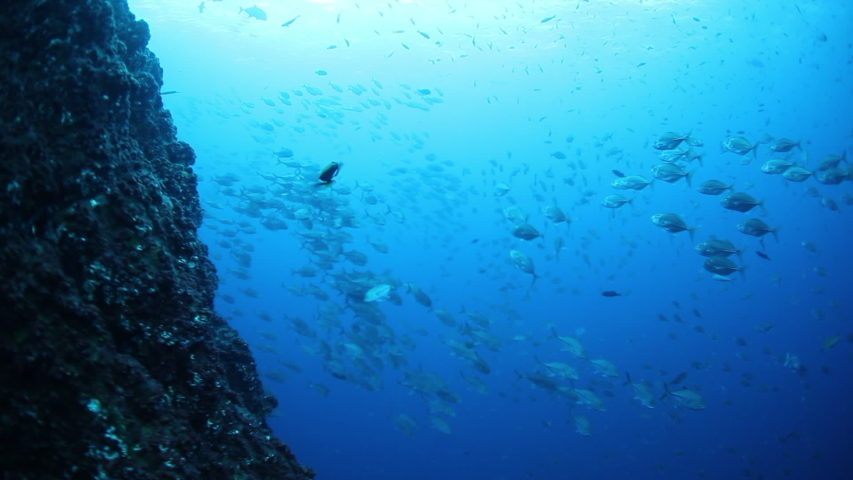 School of tuna tunny fish on the blue background of the sea under water underwater in search of food. Diving in world of colorful beautiful wildlife of corals reefs. Shots in Mexico Socoro. | Shutterstock HD Video #1055611697