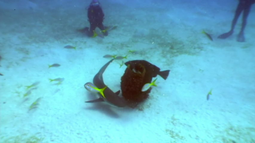 Diving with sharks Carcharhinus perezii underwater landscape Caribbean Sea and animal predator in marine life in tropical wildlife of aquatic exotic ecosystem of ocean Cuba. | Shutterstock HD Video #1055613551