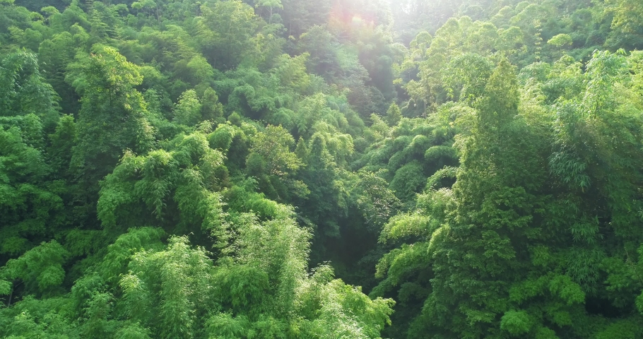 Aerial view of drone flying in the bamboo woods 4k bamboo forest in the morning with sunshine landscape footage  | Shutterstock HD Video #1055631005