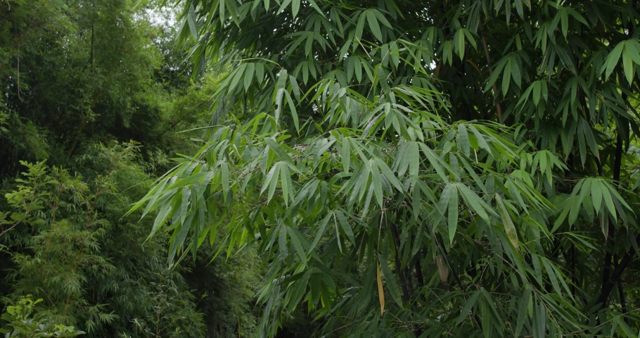 Green bamboo plant tree in the garden | Shutterstock HD Video #1055657783