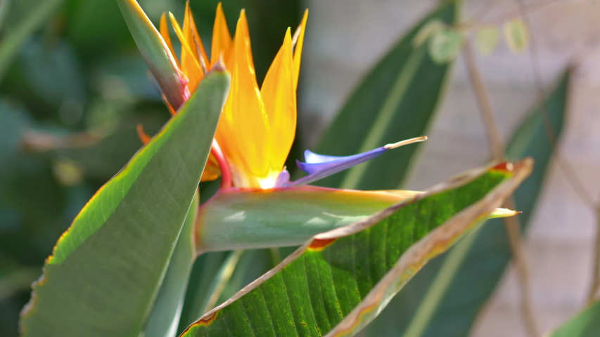 Bird of paradise flower in 4K slow motion 60fps | Shutterstock HD Video #1055663444
