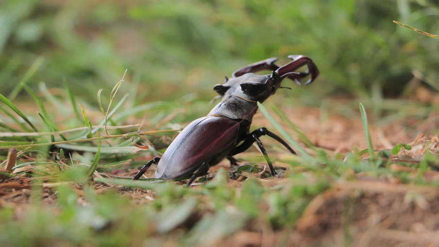 Stag Beetle in nature. Deer beetle in the forest | Shutterstock HD Video #1055676521