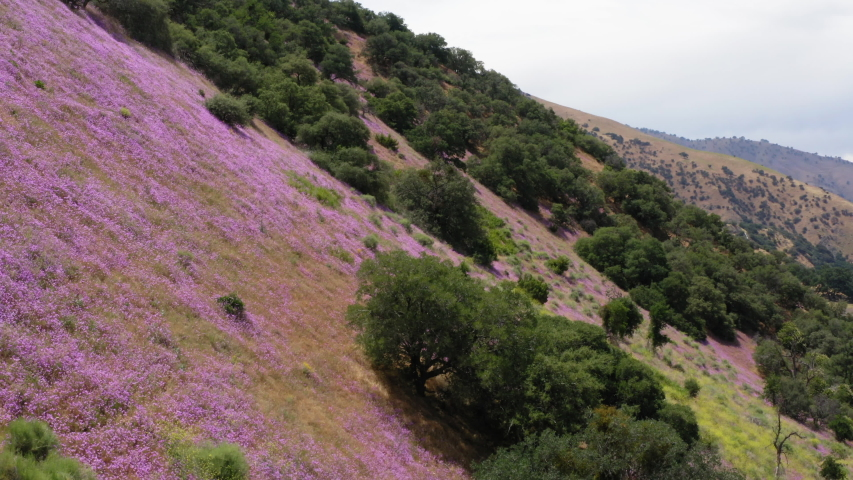 Aerial Dolly Out Shot Sloping Hill Covered With Sparse Trees and Pink Flowers | Shutterstock HD Video #1055681405