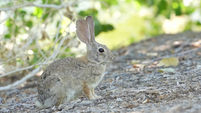 Close up shot of a cute Cottontail rabbit at Las Vegas, Nevada | Shutterstock HD Video #1055687456