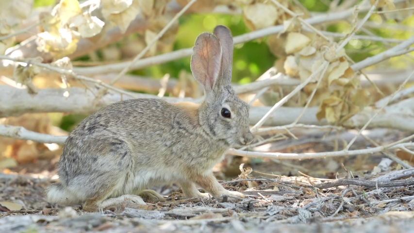Close up shot of a cute Cottontail rabbit at Las Vegas, Nevada | Shutterstock HD Video #1055687462