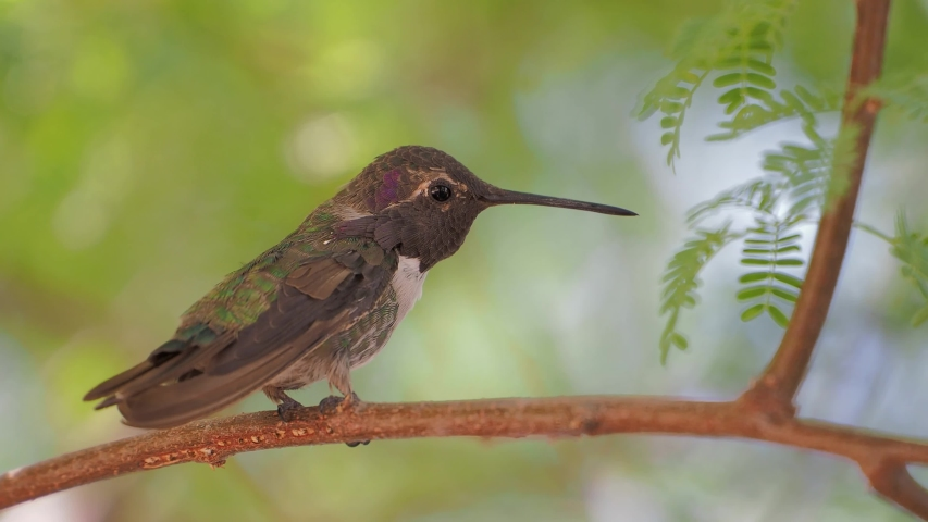 Close up shot of a hummingbird resting on a branch at Las Vegas, Nevada | Shutterstock HD Video #1055687468