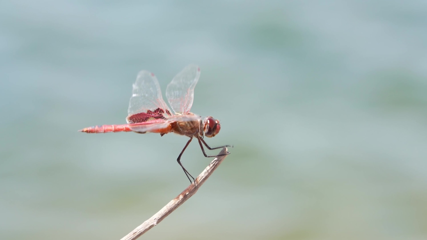 Close up shot of a Flame skimmer at Henderson, Nevada | Shutterstock HD Video #1055687474