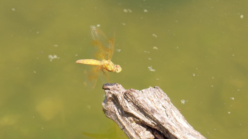 Close up shot of a yellow dragonfly at Henderson, Nevada | Shutterstock HD Video #1055687564