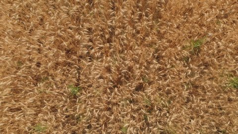 Wheat field. Organic farming Agricultural. Aerial view the harvest of grain crops.