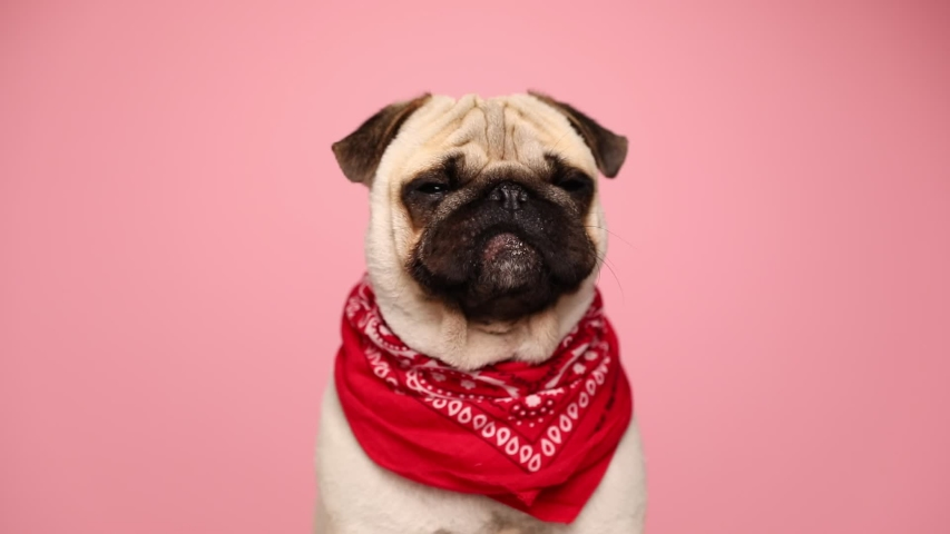 adorable little pug dog sitting against pink background, wearing a red bandana, looking around, licking his nose and yawning