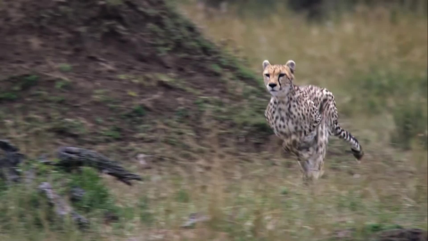 Wild Cheetah Running Top Speed | Shutterstock HD Video #1055841167