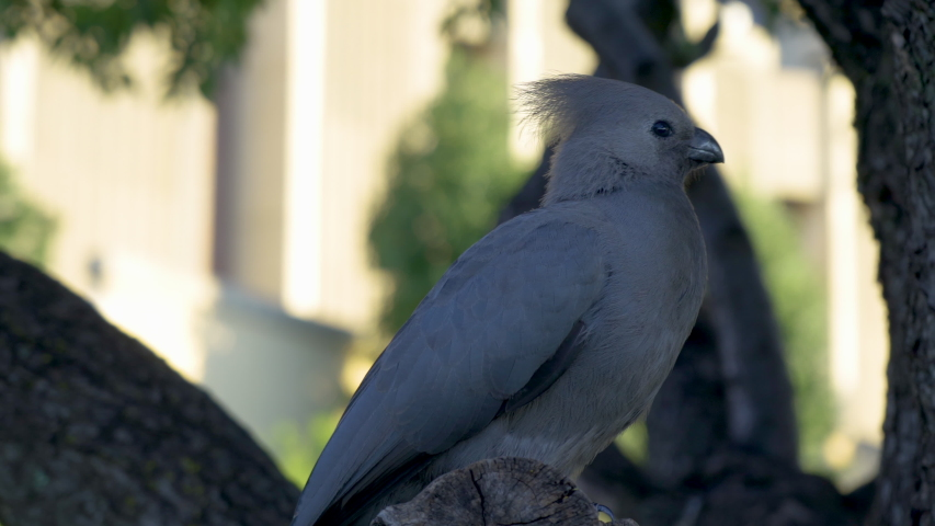 Grey go-away bird perched in a tree in South Africa