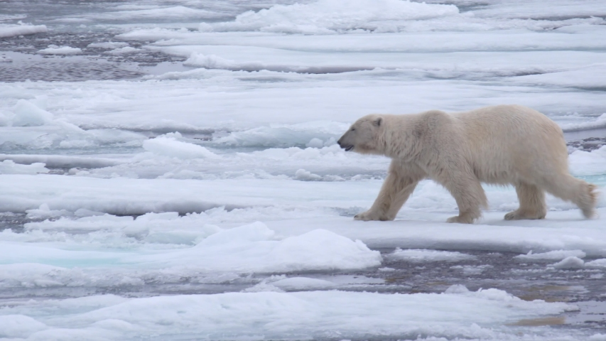 A polar bear walks in ice and water landscape