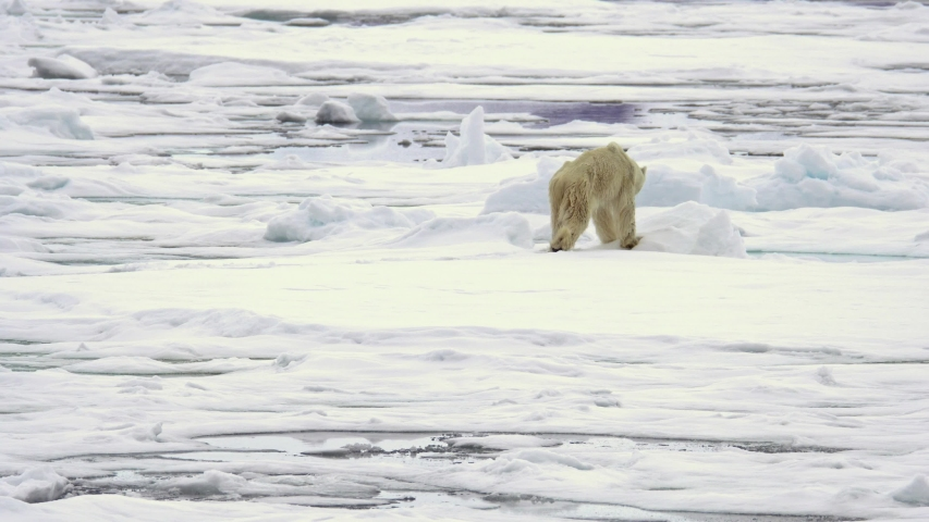 A thin starved polar bear (Ursus maritimus) walking on ice and shakes