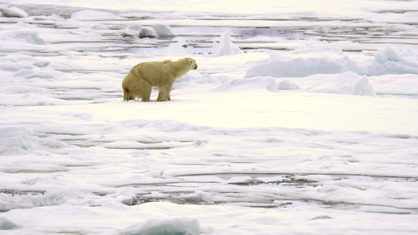 A thin starved polar bear (Ursus maritimus) hardly climbing out of the water to an ice surface