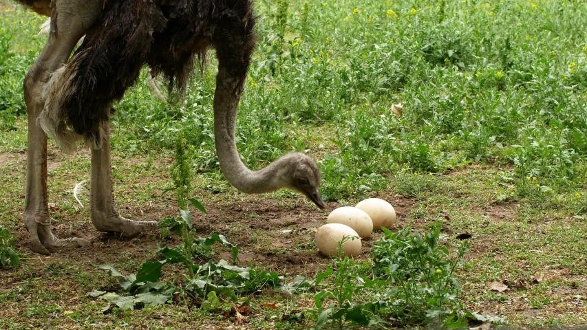 Ostrich farm. An ostrich sits on a nest hatches offspring eggs.  | Shutterstock HD Video #1055957066