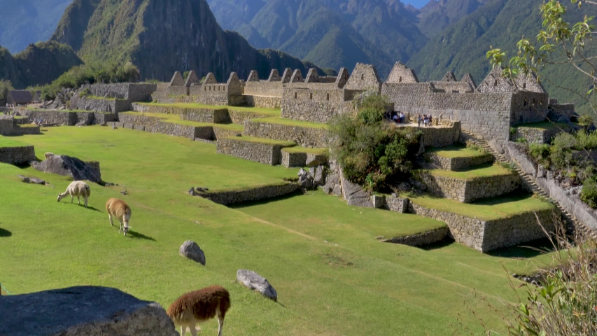 Alpacas and vicunas eating grass among the archaeological complex of Machu Picchu. Views of the Andes mountains and Huayna Picchu as background