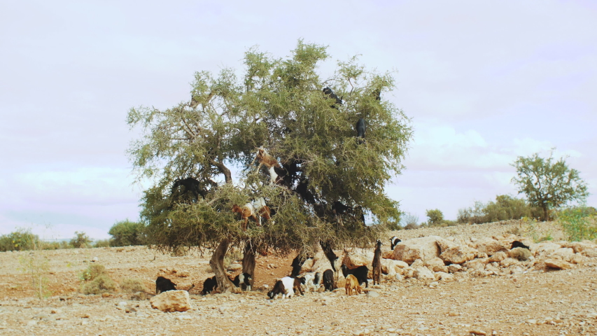 Close-up of flock of goats in an argan tree eating the argan nuts, Tree Climbing Goats In Morocco, A group of goats is sitting in a Argan Tree eating from the branches in Morocco, 4k