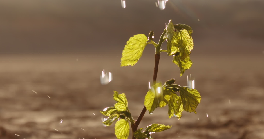 Water drops falling on tiny plant in desert, filling it with life. Little green sprout growing on cracked ground in dried river - ecology, sustainability concept close up 4k footage Royalty-Free Stock Footage #1056048968