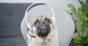 Funny business pug dog wear headset. Video conference calling on laptop computer talk by webcam in online chat, customer support service and distance online teaching. Live video online stream. POV