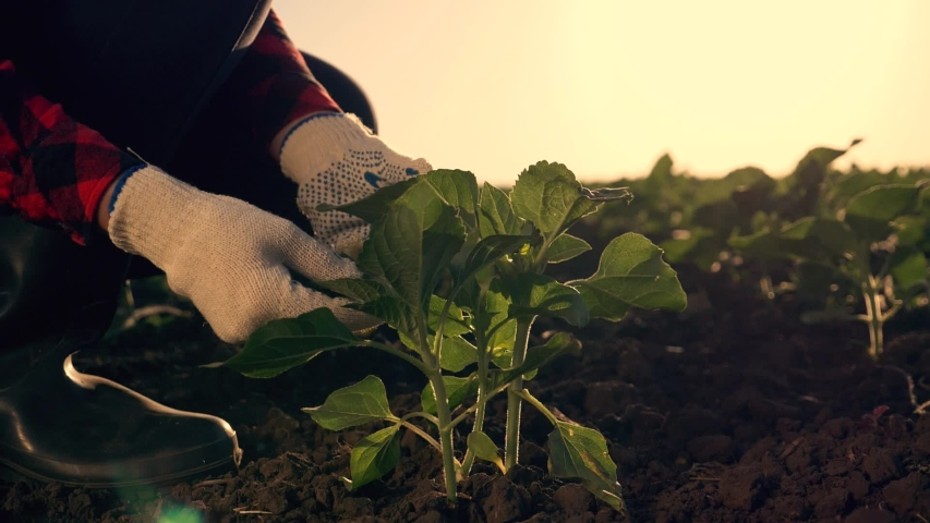 Agriculture. Farmer works in green field, holding fertile soil in his hands. Farmer work in fertile soil. Agriculture concept. Farmer work with fertile black soil. Farmer in green field Royalty-Free Stock Footage #1056114404