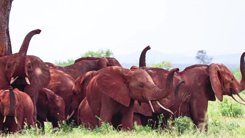 A herd of African elephants stand under a tree in the shadow, Africa. Their skin is red from the local soil. It is a wildlife photo of Tsavo East National park, Kenya.