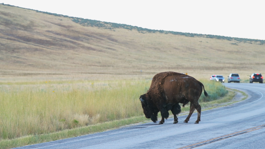 Antelope Island, USA with bison male bull crossing road in state park near Great Salt Lake City in Utah with cars in traffic on safari | Shutterstock HD Video #1056126446