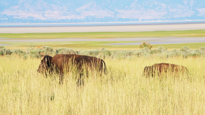 Family bison with calf herd panning on Antelope Island State Park near Great Salt Lake City in Utah, USA with mountains in background | Shutterstock HD Video #1056126455